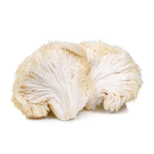 LionsMain Mushroom